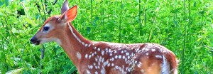 cropped-fawn-phase-5-july-2-2007-21.jpg